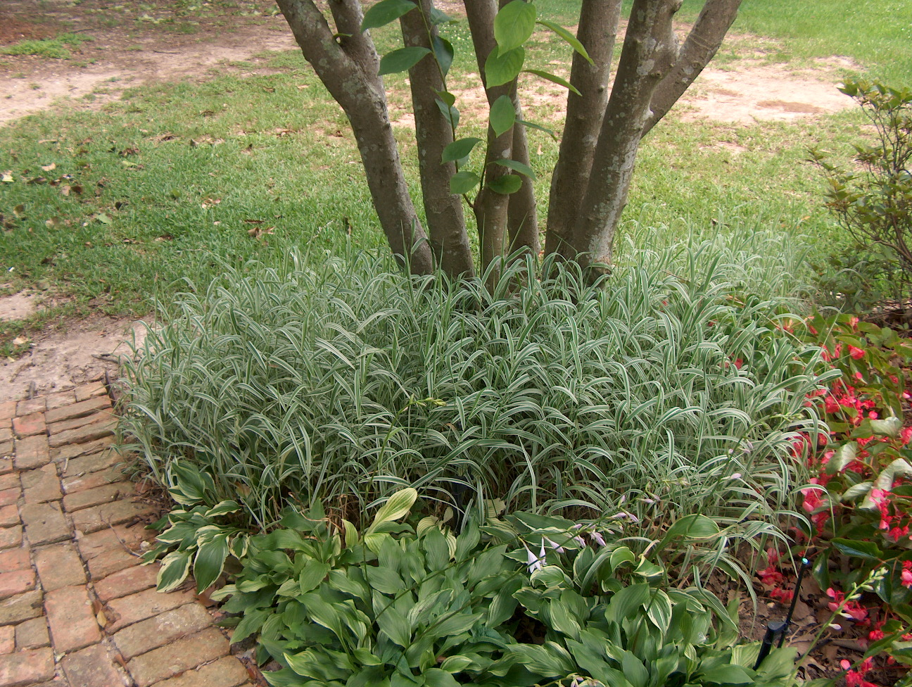 Phalaris arundinacea  / Phalaris arundinacea