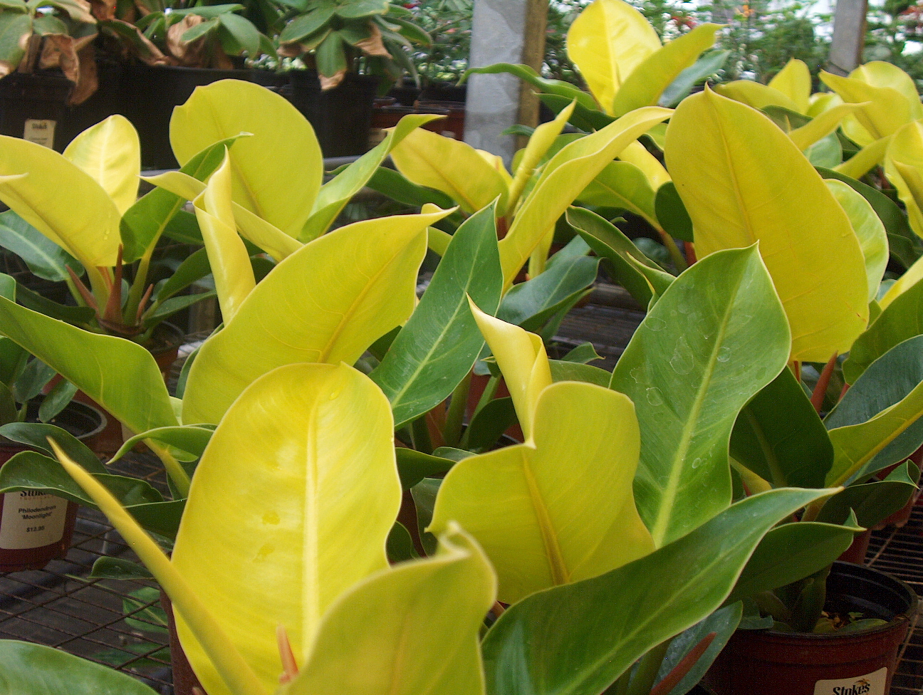 Philodendron 'Moonlight'  / Philodendron 'Moonlight'