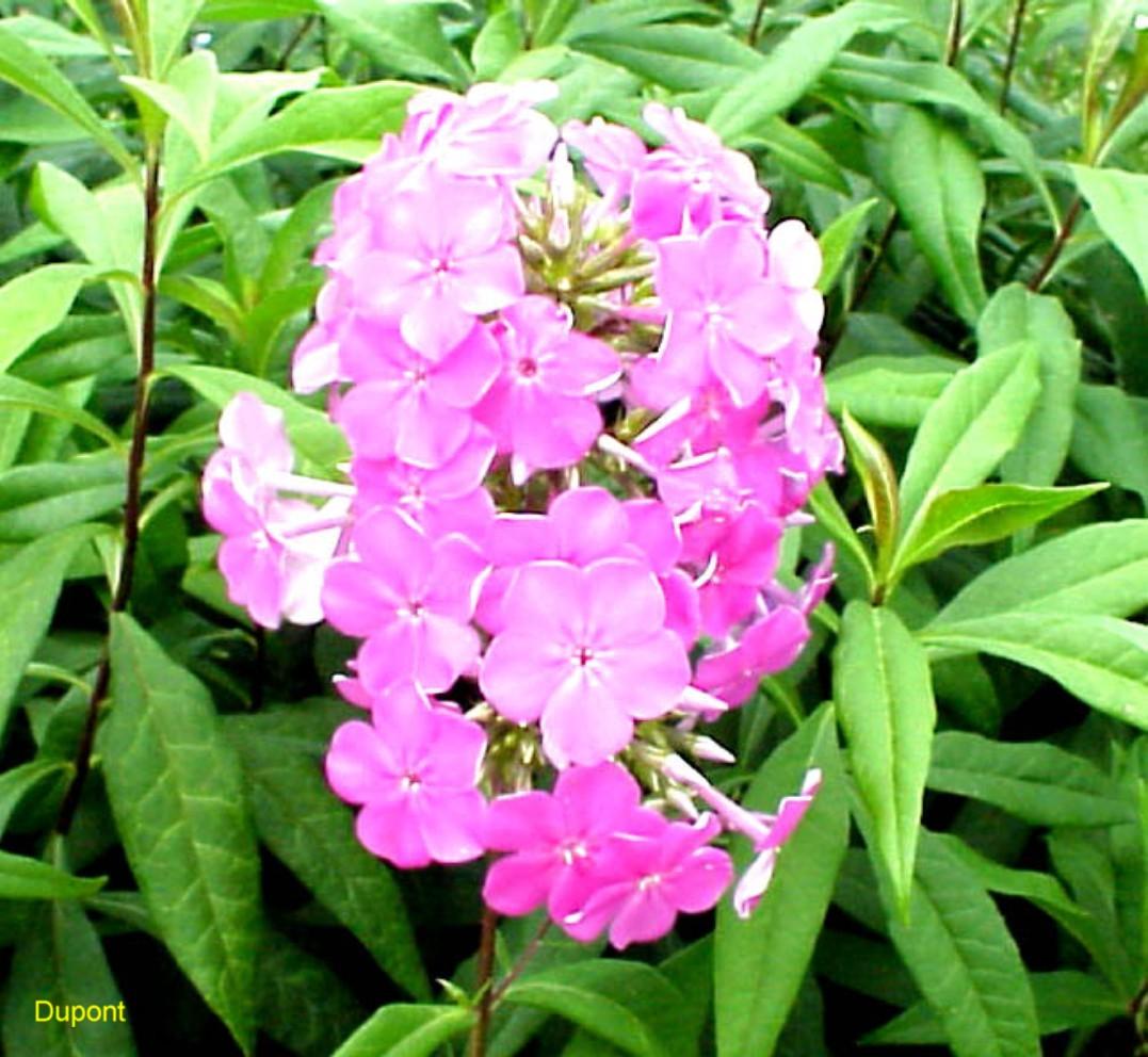 Phlox paniculata 'Texas Pink'  / Phlox paniculata 'Texas Pink'