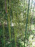 Hedge Bamboo / Phyllostachys glauca