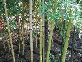 Early Spring Shoot Bamboo / Phyllostachys praecox
