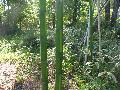 Chinese Timber Bamboo / Phyllostachys vivax