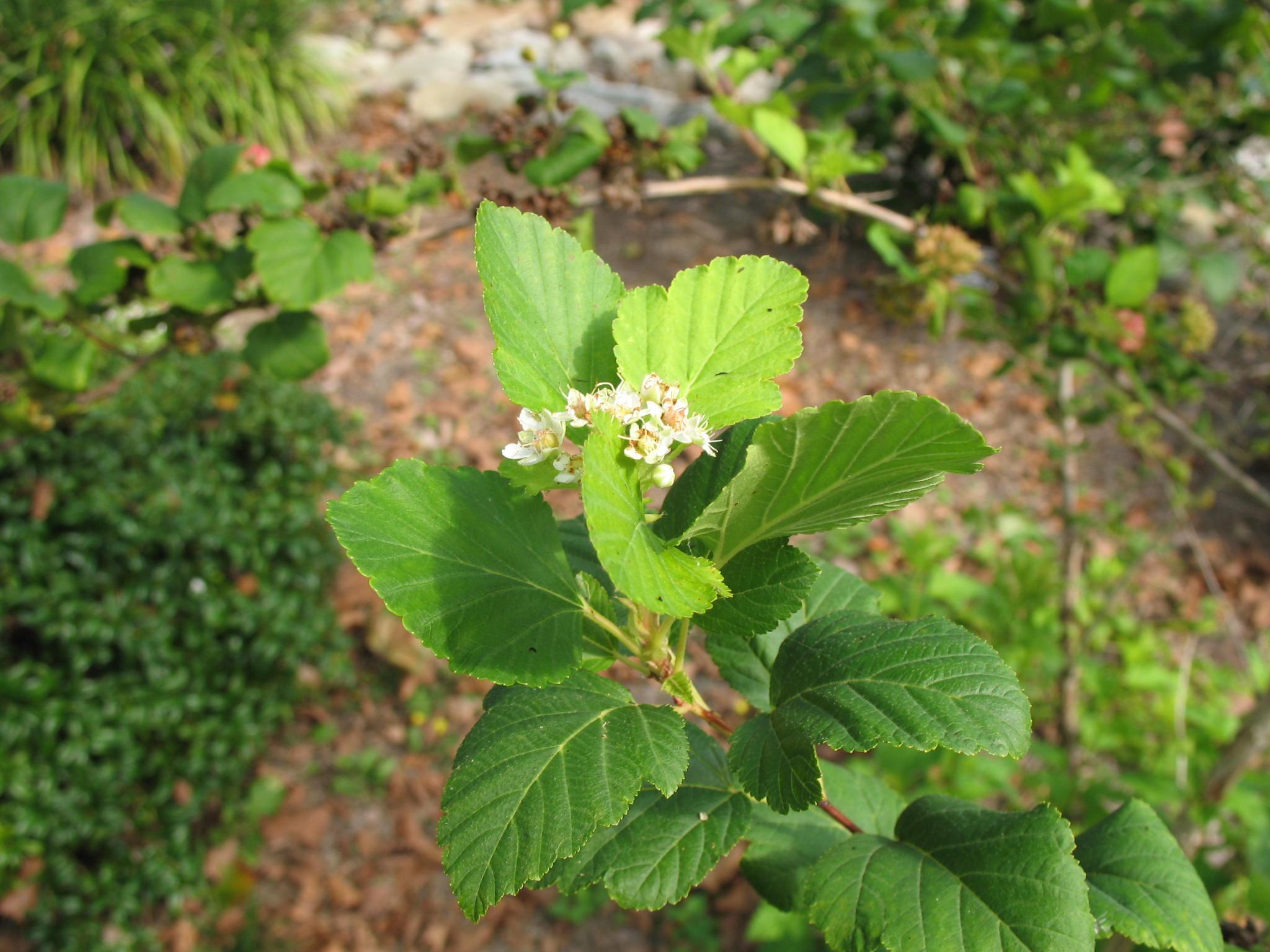 Physocarpus opulifolius  / Physocarpus opulifolius