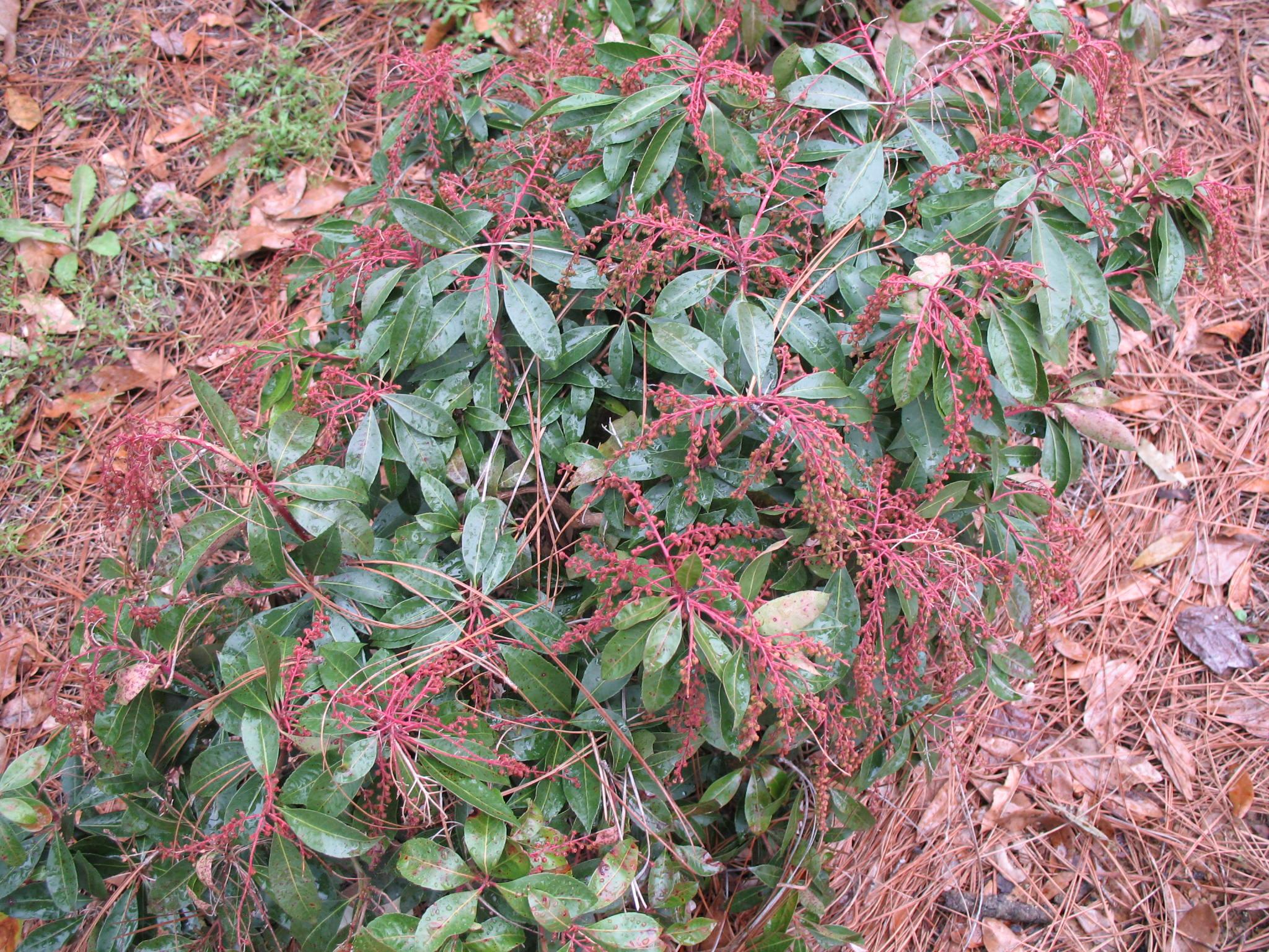 Pieris japonica 'Bridal Veils'  / Pieris japonica 'Bridal Veils'