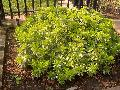 Dwarf Variegated Pittosporum / Pittosporum tobira