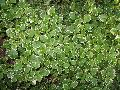 White-Edged Swedish Ivy / Plectranthus coleoides