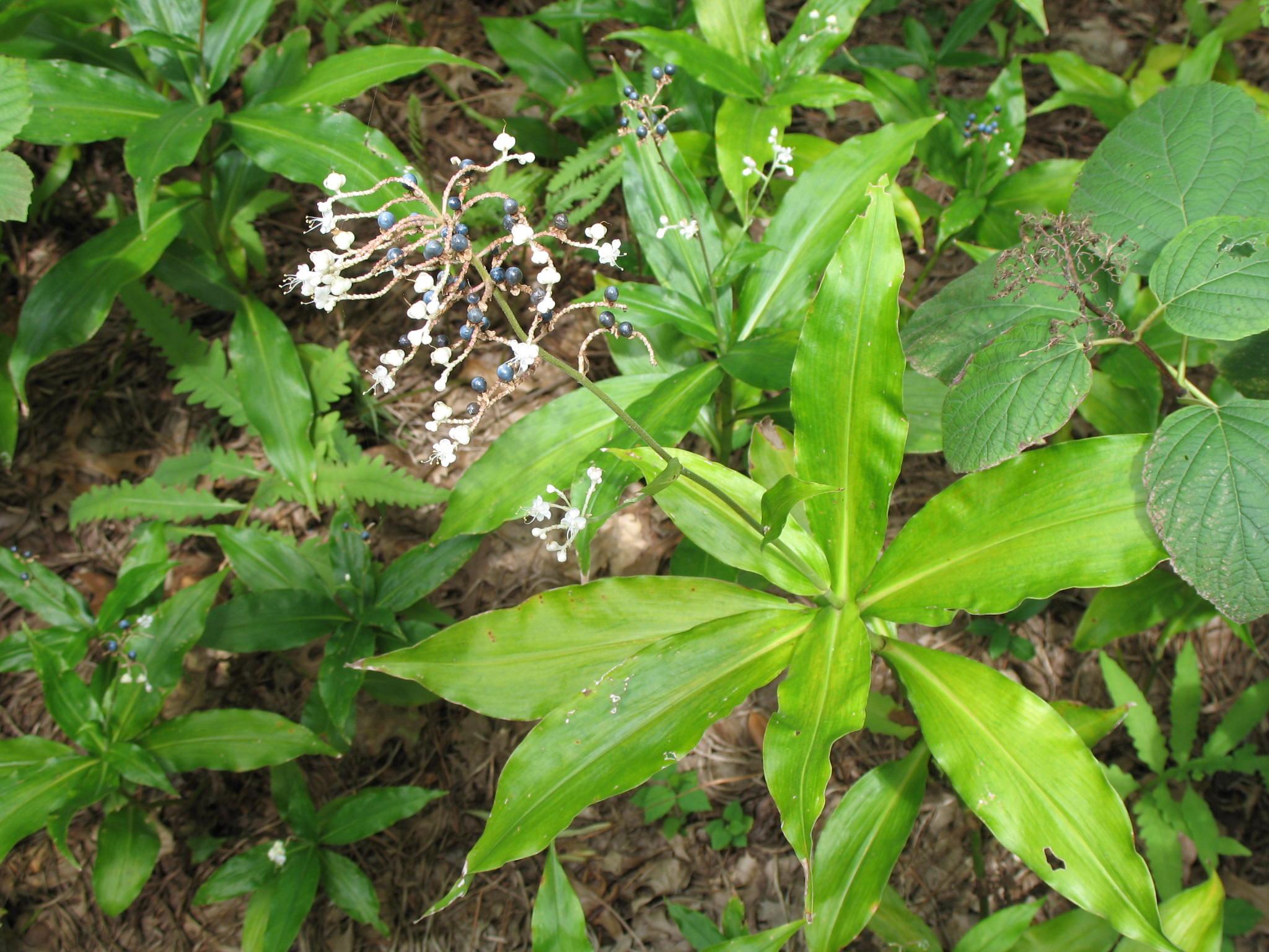 Pollia japonica   / Pollia japonica