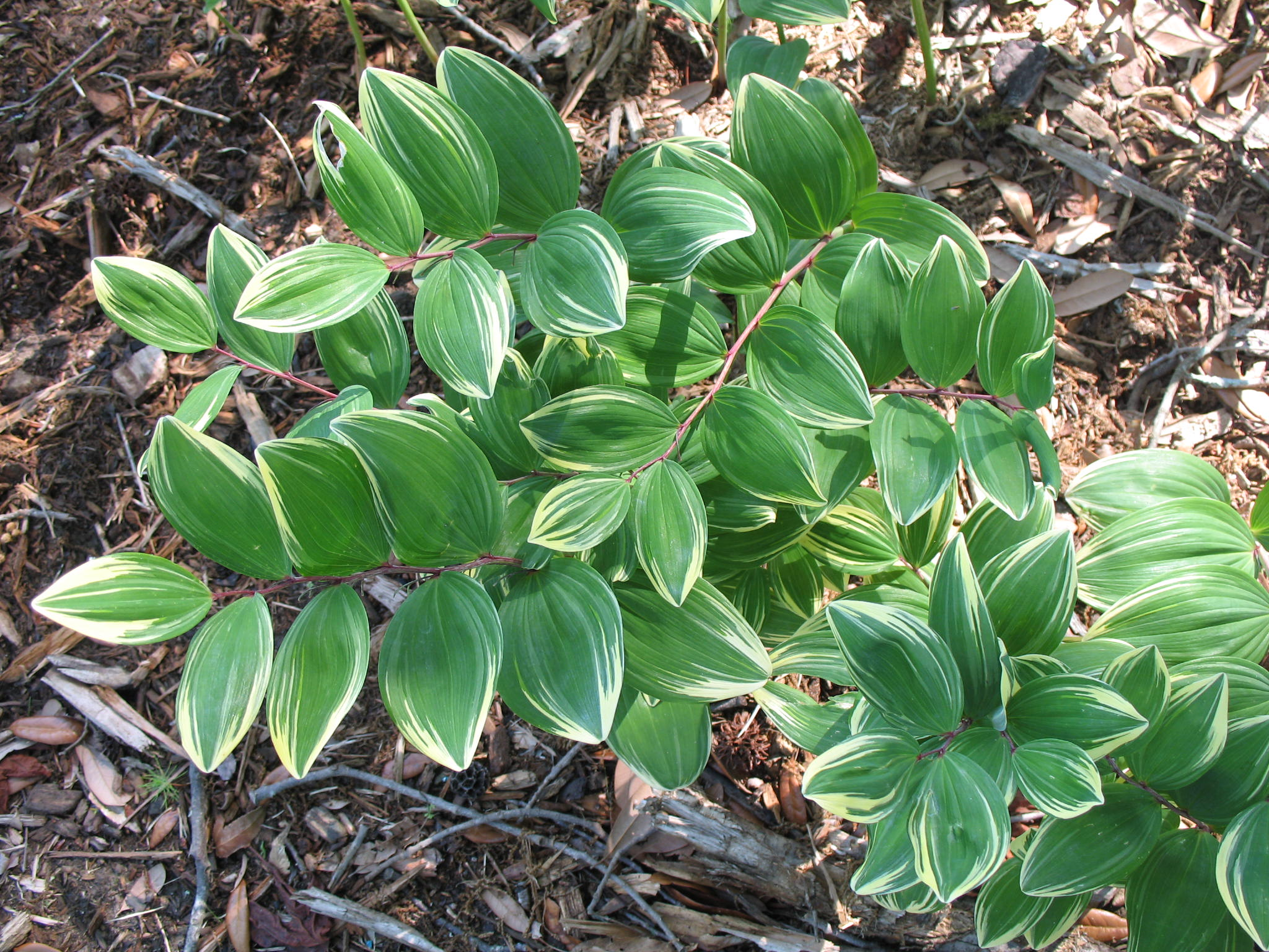 Polygonatum species  / Polygonatum species