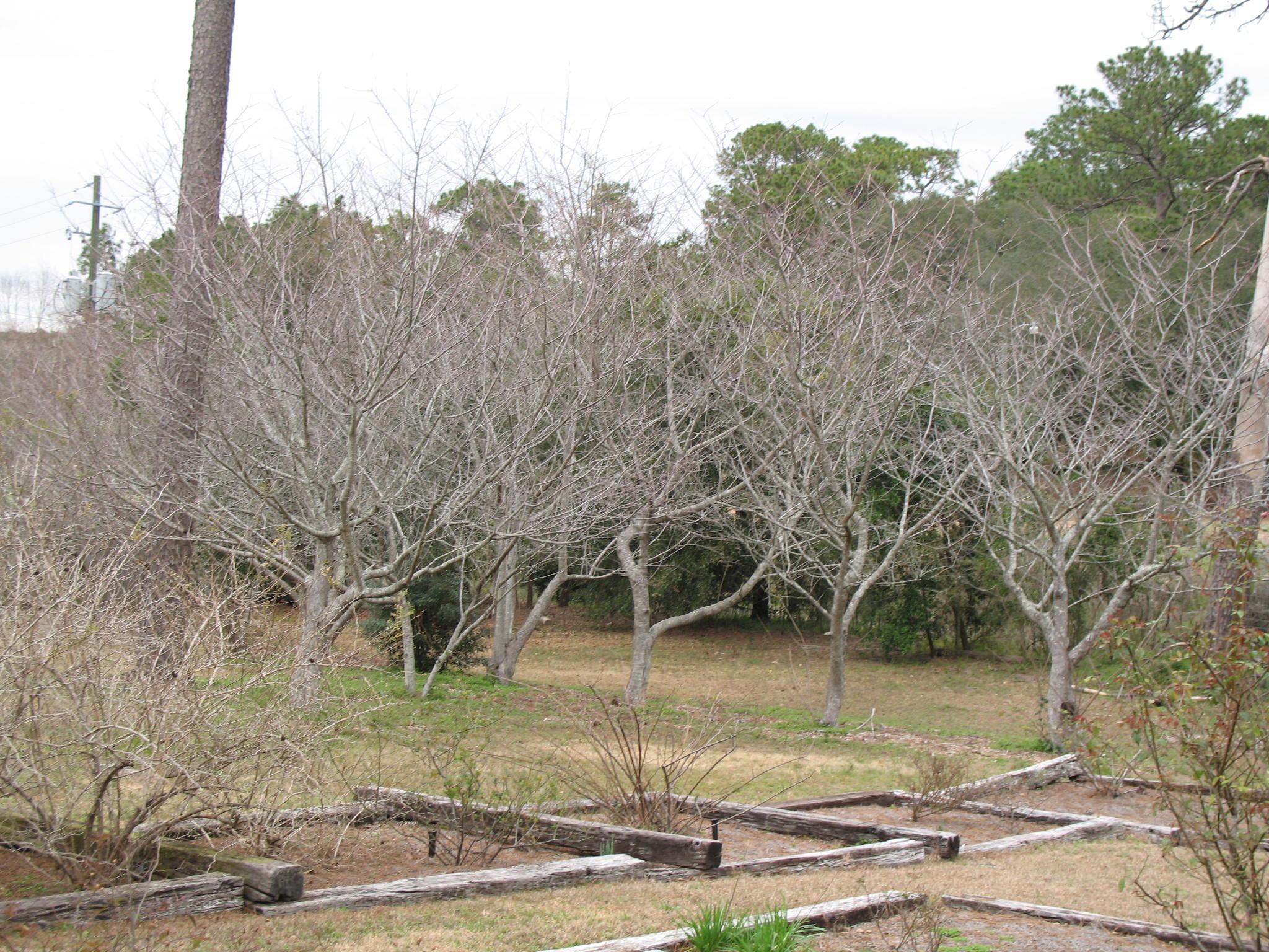 Prunus 'Okame'  / Prunus 'Okame'