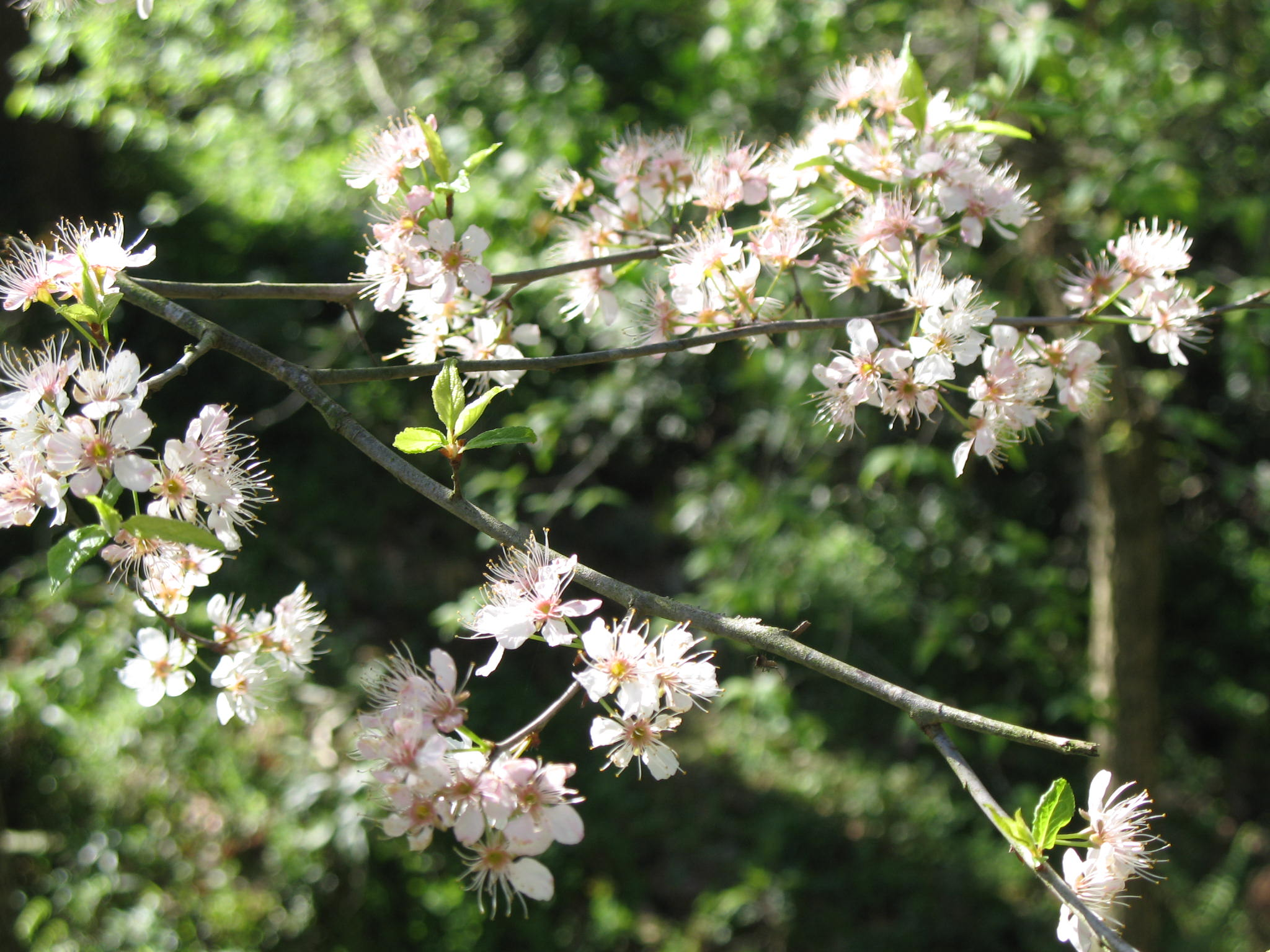 Prunus mexicana  / Prunus mexicana