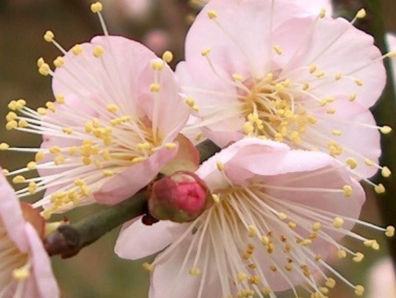 Prunus mume 'Trumpet'  / Prunus mume 'Trumpet'