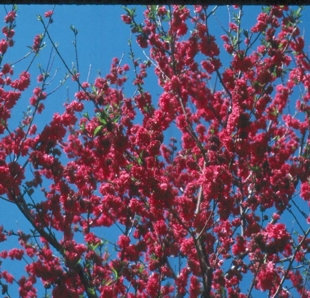 Prunus persica 'Double Red'  / Prunus persica 'Double Red'