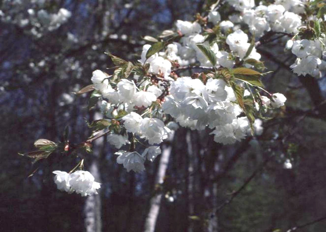 Prunus species  / Prunus species