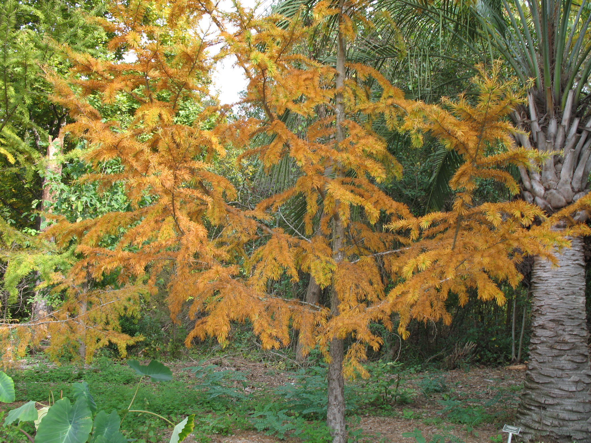 Pseudolarix amabilis  / Golden Larch