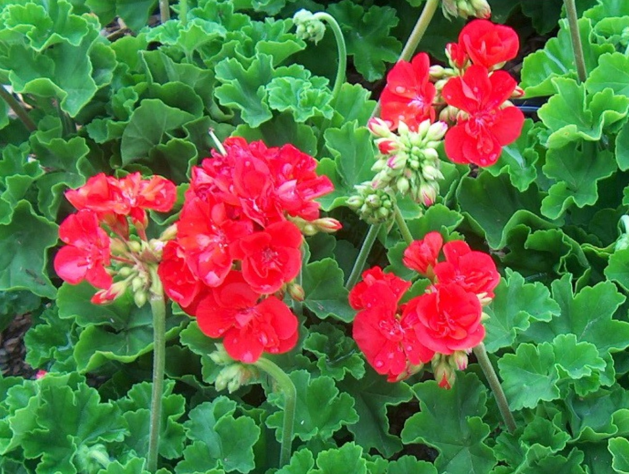 Pelargonium hortorum 'Allure Hot Coral'  / Pelargonium hortorum 'Allure Hot Coral'