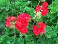 Allure Hot Coral Geranium / Pelargonium hortorum