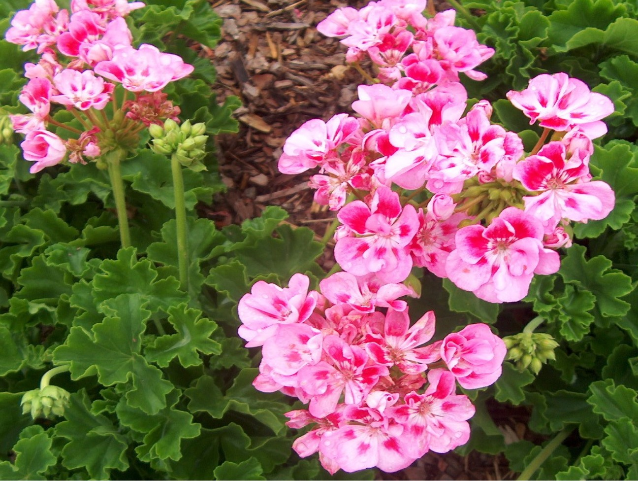 Pelargonium hortorum 'Allure Light Pink'  / Pelargonium hortorum 'Allure Light Pink'