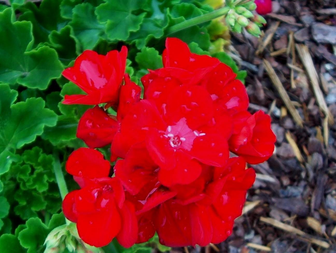 Pelargonium hortorum 'Americana Dark Red' / Pelargonium hortorum 'Americana Dark Red'