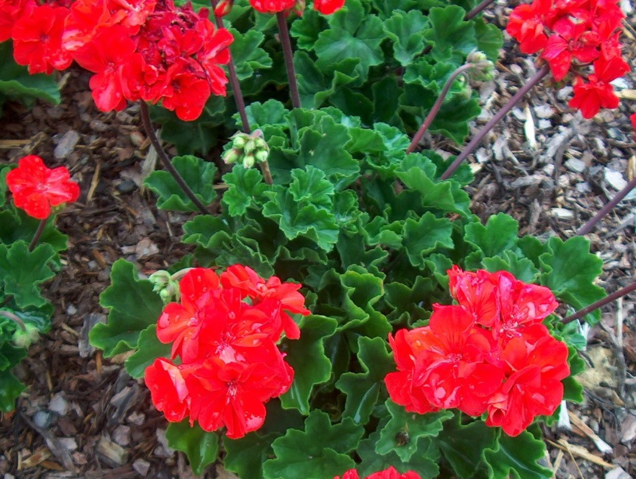 Pelargonium hortorum ''Fantasia Flame Improved' / Pelargonium hortorum ''Fantasia Flame Improved'