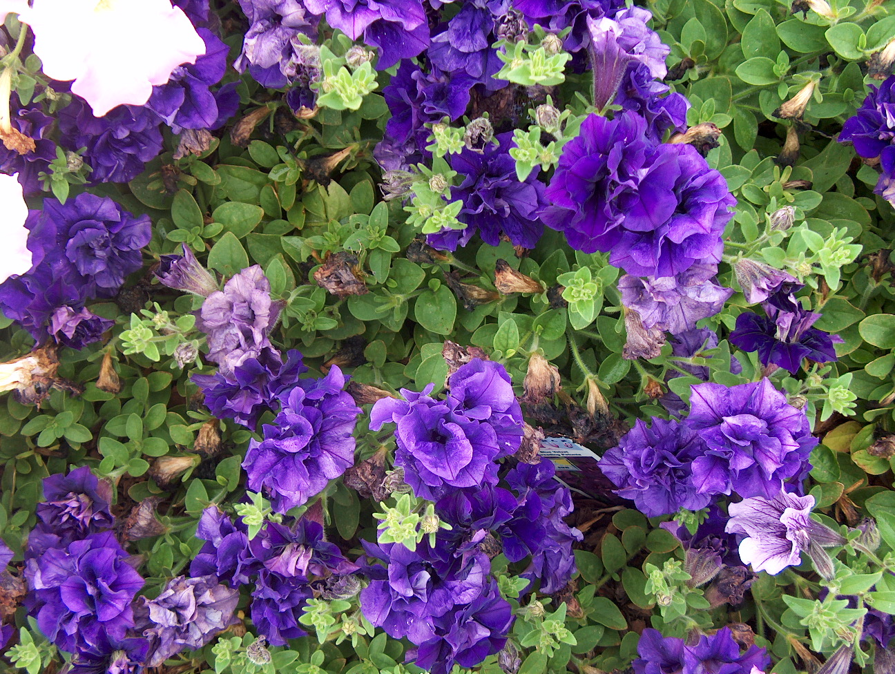 Petunia 'Double Wave Blue Velvet' / Petunia 'Double Wave Blue Velvet'