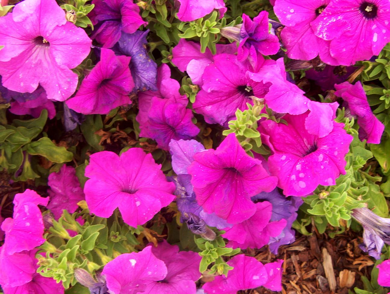 Petunia 'Limbo Violet' / Petunia 'Limbo Violet'