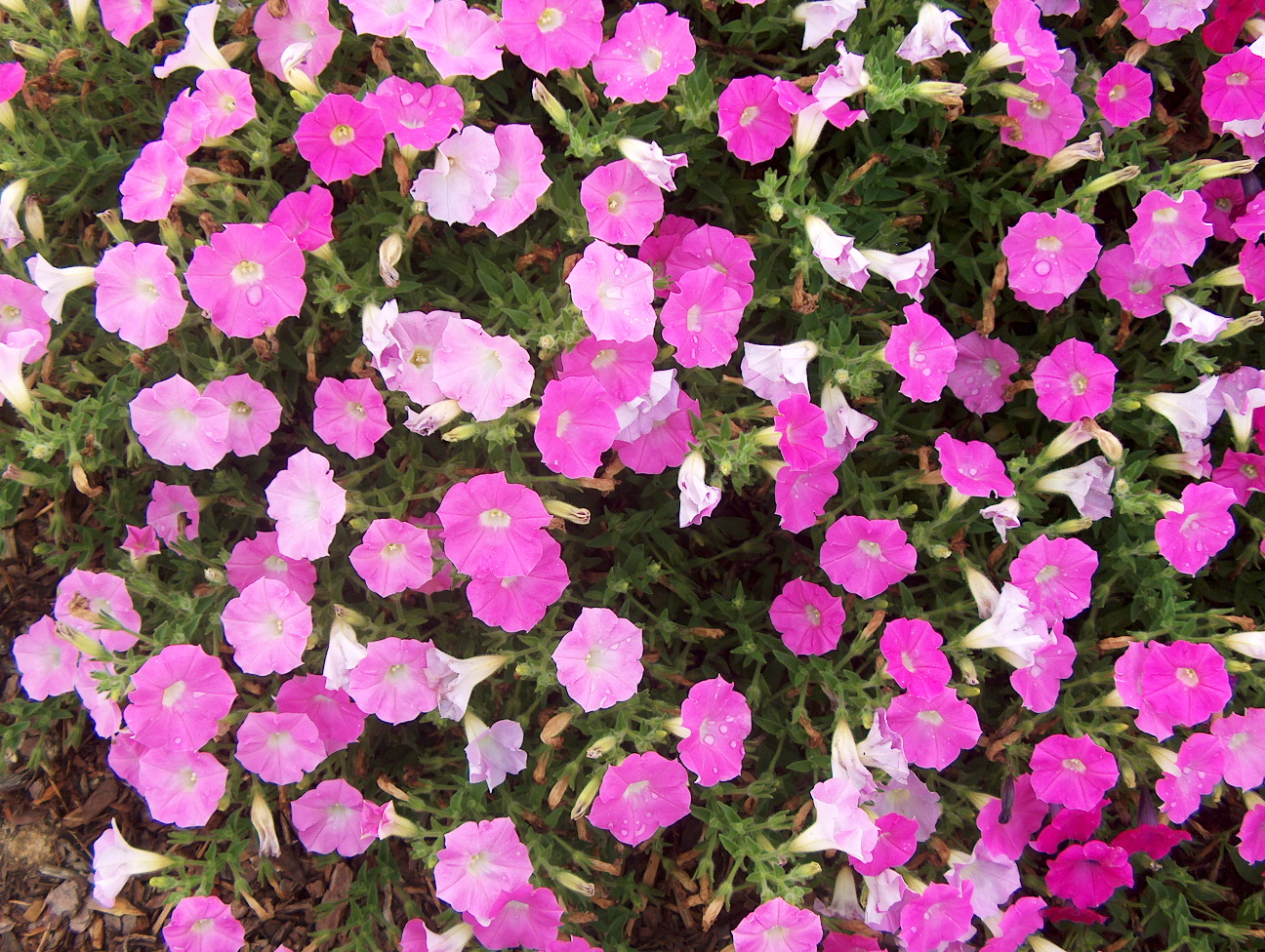 Petunia 'Shock Wave Pink Shades' / Petunia 'Shock Wave Pink Shades'