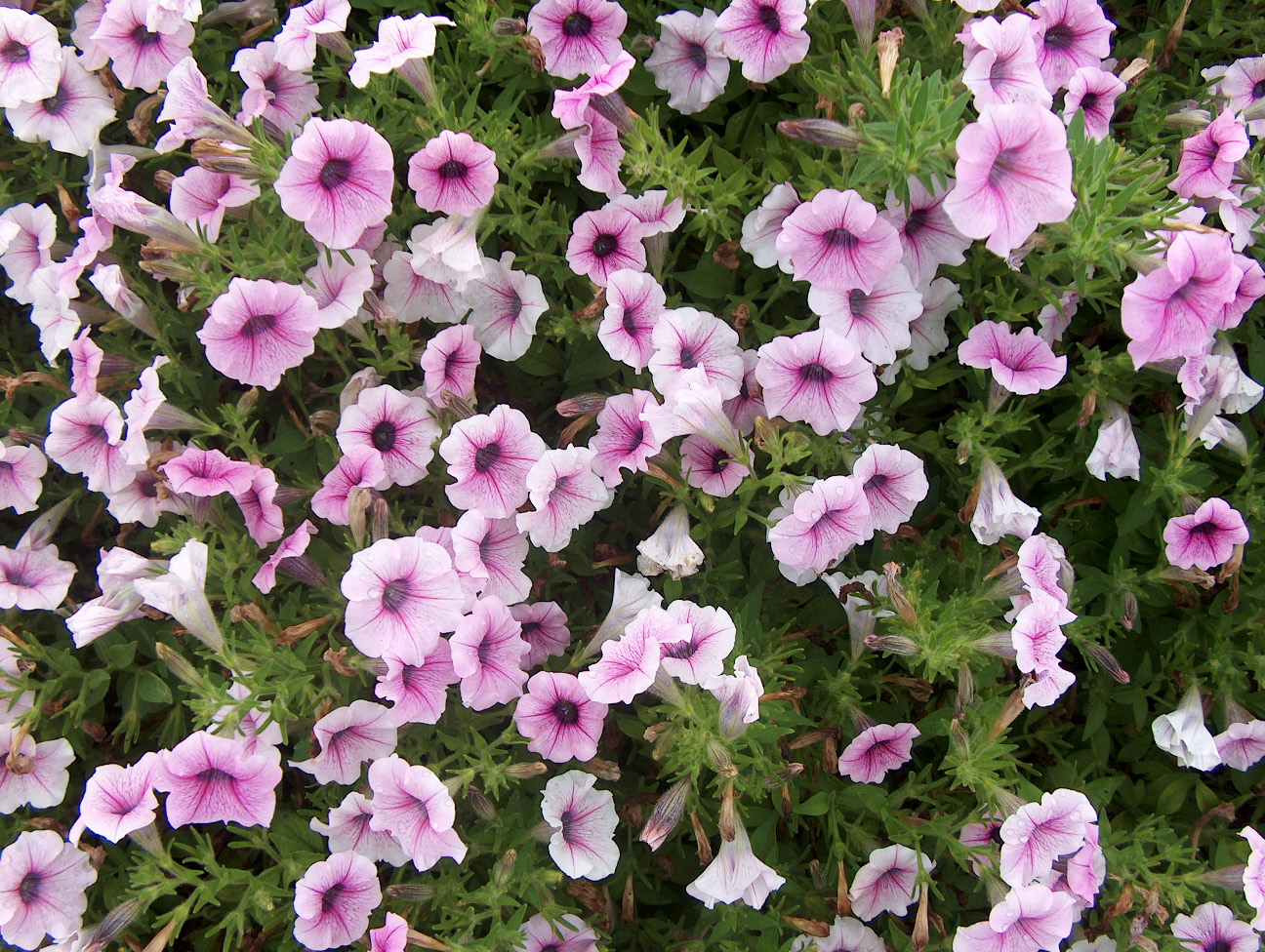 Petunia 'Shock Wave Pink Vein' / Petunia 'Shock Wave Pink Vein'