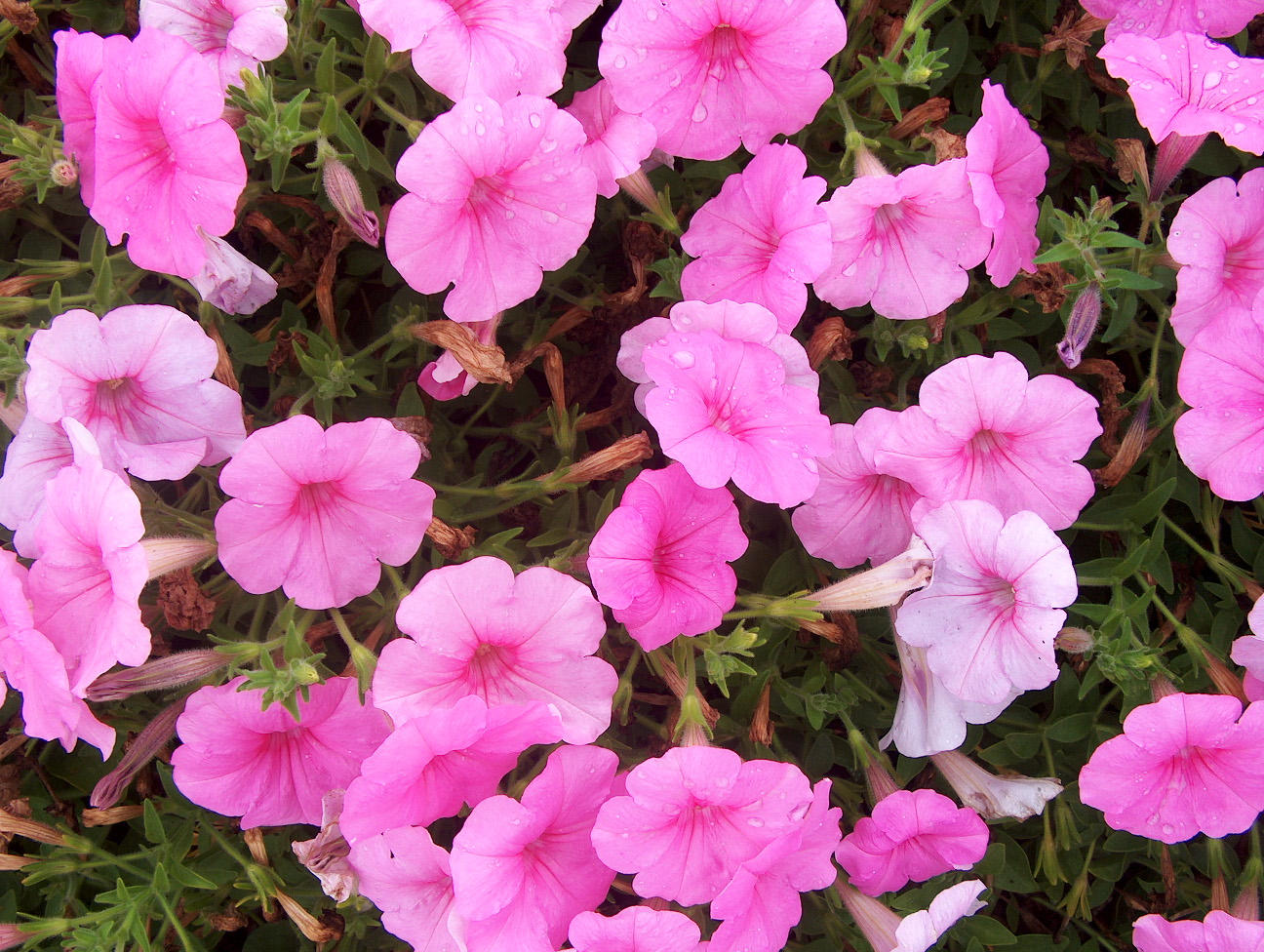 Petunia 'Supertunia Cotton Candy' / Petunia 'Supertunia Cotton Candy'