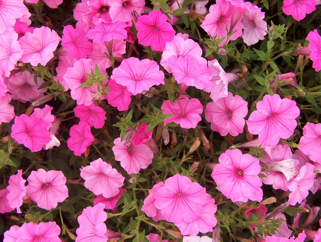 Petunia 'Supertunia Vista Bubblegum' / Petunia 'Supertunia Vista Bubblegum'