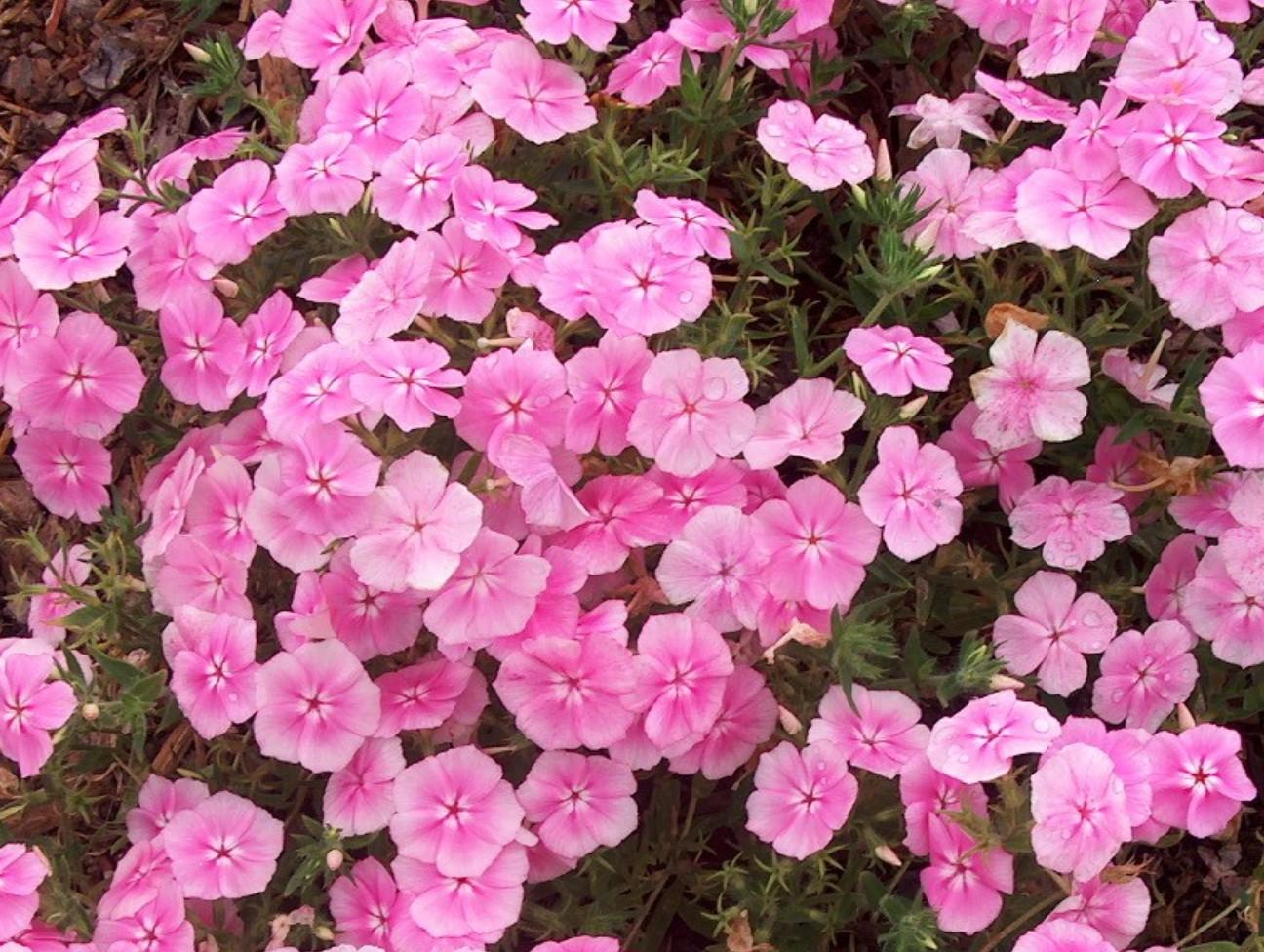 Phlox 'Intensia Pink'  / Phlox 'Intensia Pink'