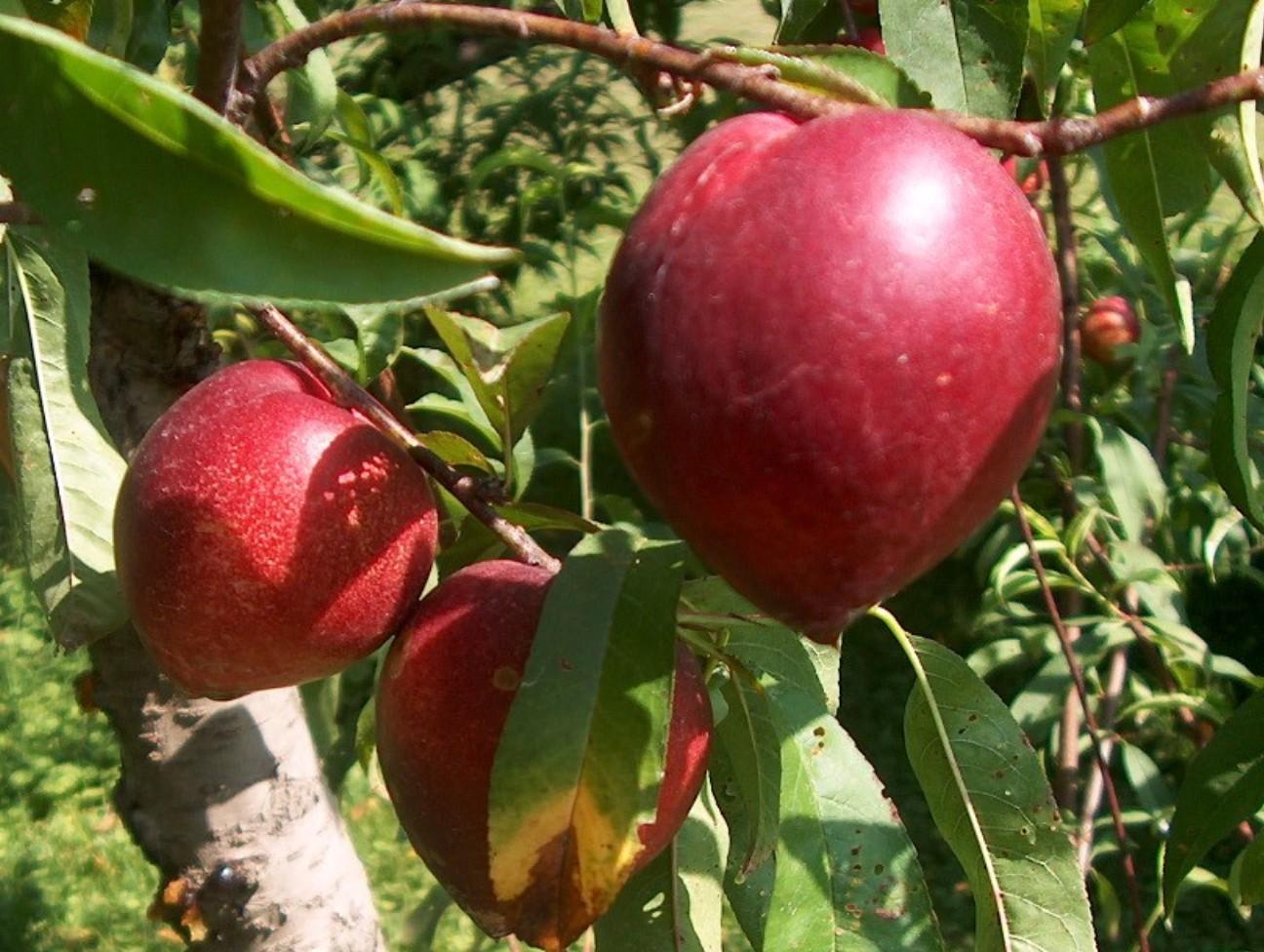 Prunus persica var. nucipersica / Prunus persica var. nucipersica