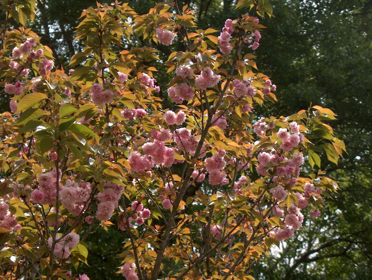 Prunus serrulata 'Kwanzan'  / Prunus serrulata 'Kwanzan'