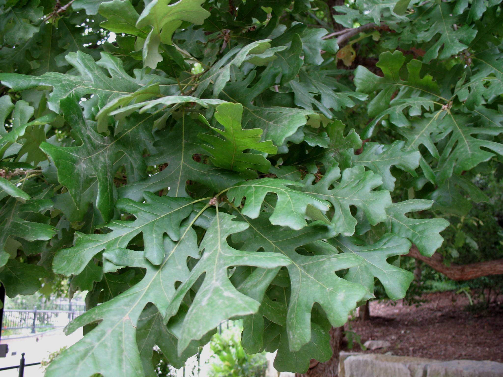 Quercus macrocarpa / Quercus macrocarpa