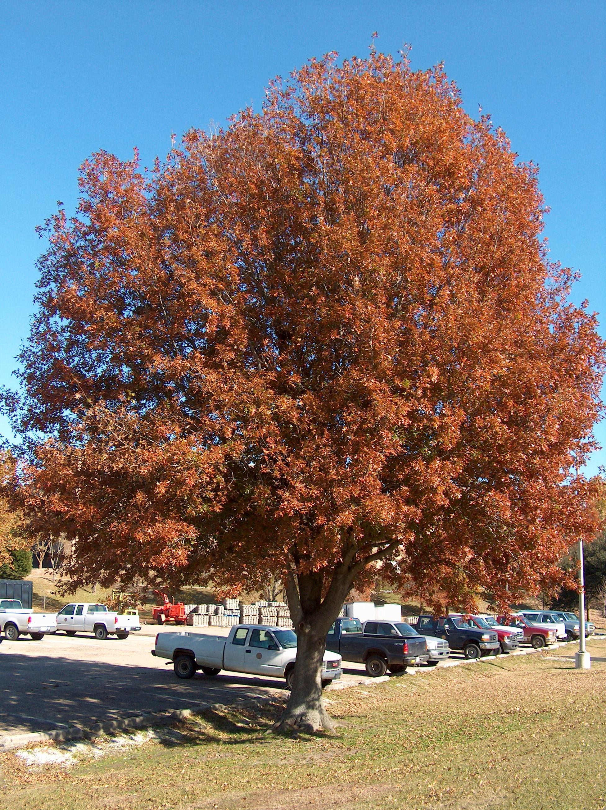 Quercus nuttallii  / Quercus nuttallii
