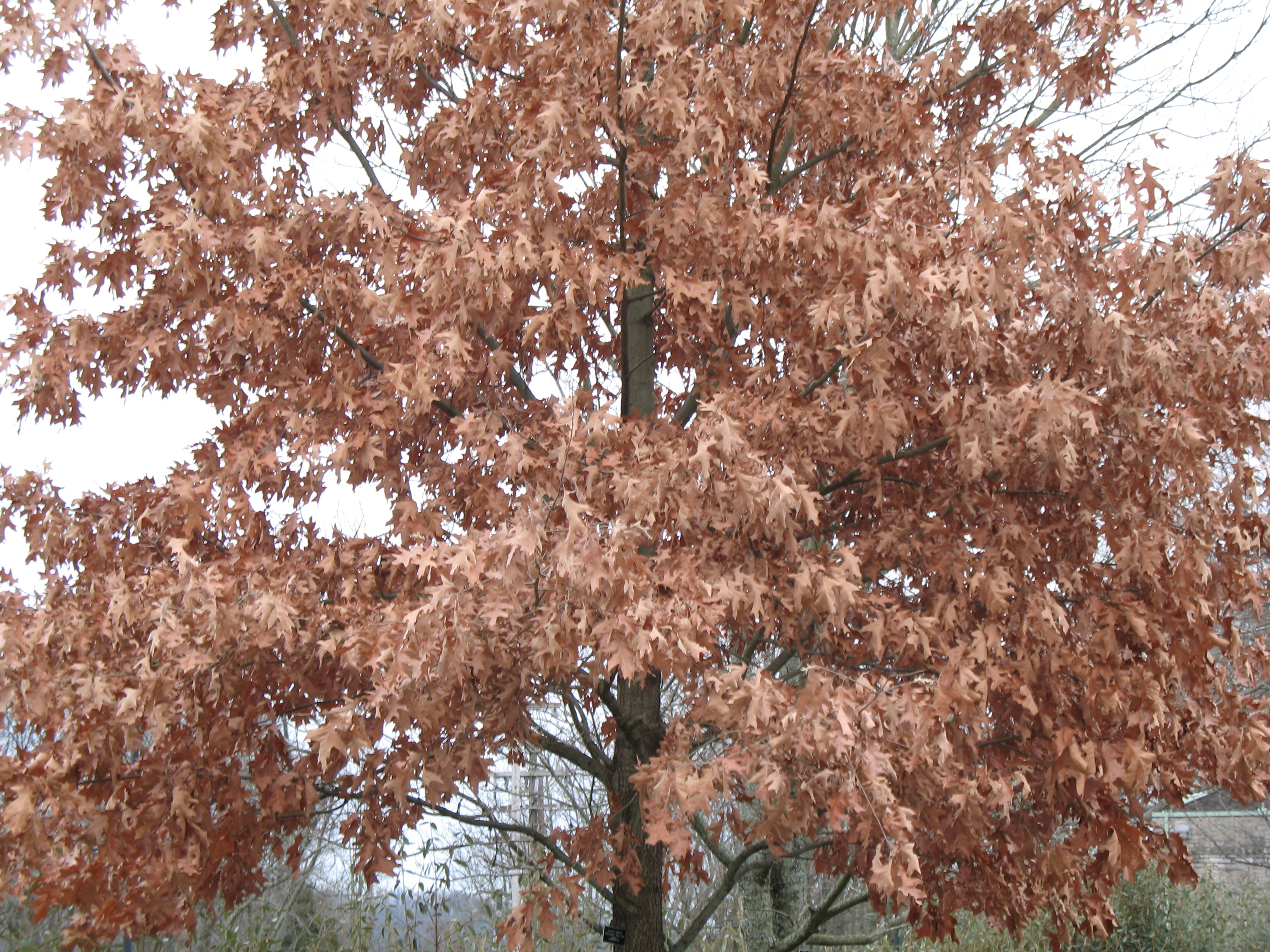 Quercus rubra / Northern Red Oak