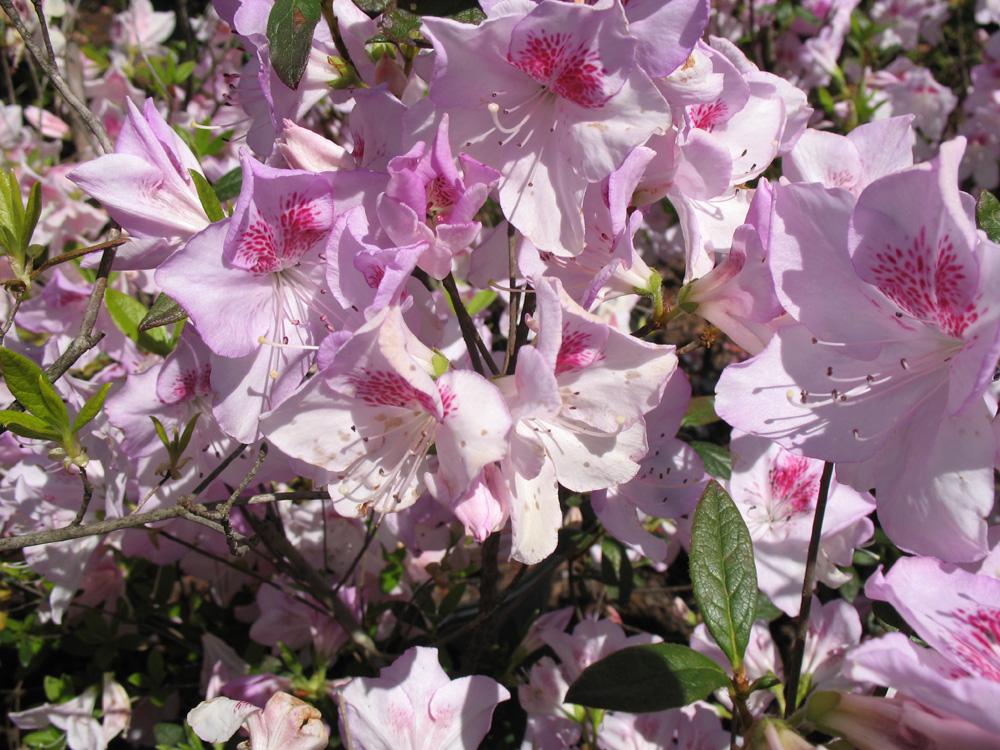 Rhododendron 'Ken Sanderson' / Rhododendron 'Ken Sanderson'