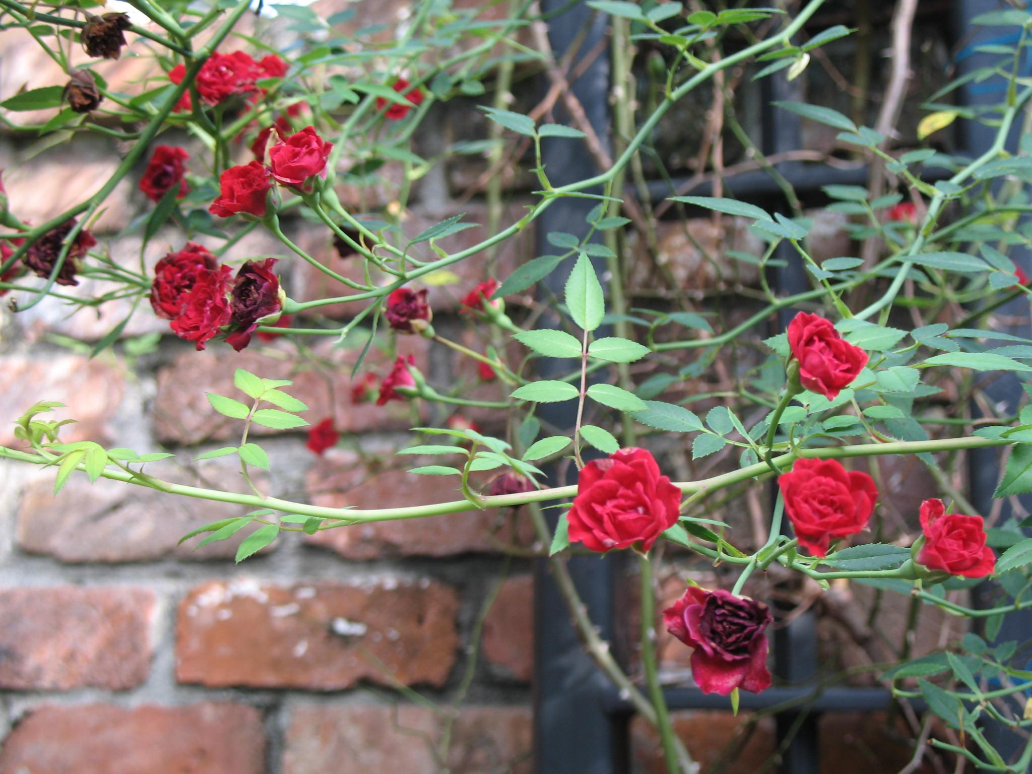 Rosa 'Red Cascade'  / Rosa 'Red Cascade'