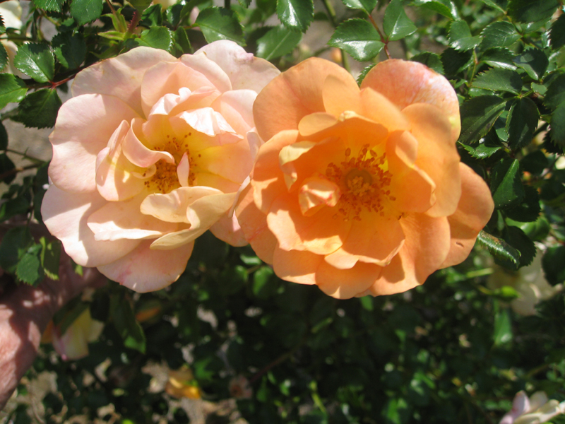Rosa 'Oso Easy Peachy Cream' / Rosa 'Oso Easy Peachy Cream'