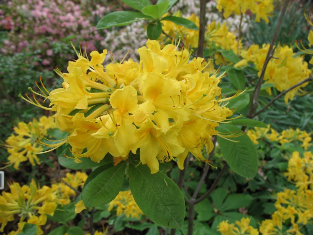 Rhododendron 'Aromi  Sunny-side-up' / Rhododendron 'Aromi  Sunny-side-up'