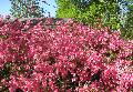 Fisher Pink Azalea / Rhododendron indicum