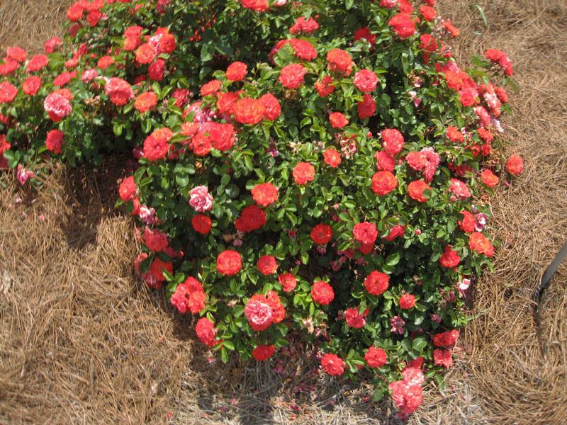 Rosa hybrida 'Drift' / Rosa hybrida 'Drift'