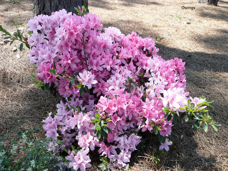 Rhododendron indicum 'North Lake Beauty' / Rhododendron indicum 'North Lake Beauty'