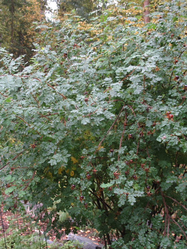 Rosa spinosissima 'Scotch Rose' / Rosa spinosissima 'Scotch Rose'