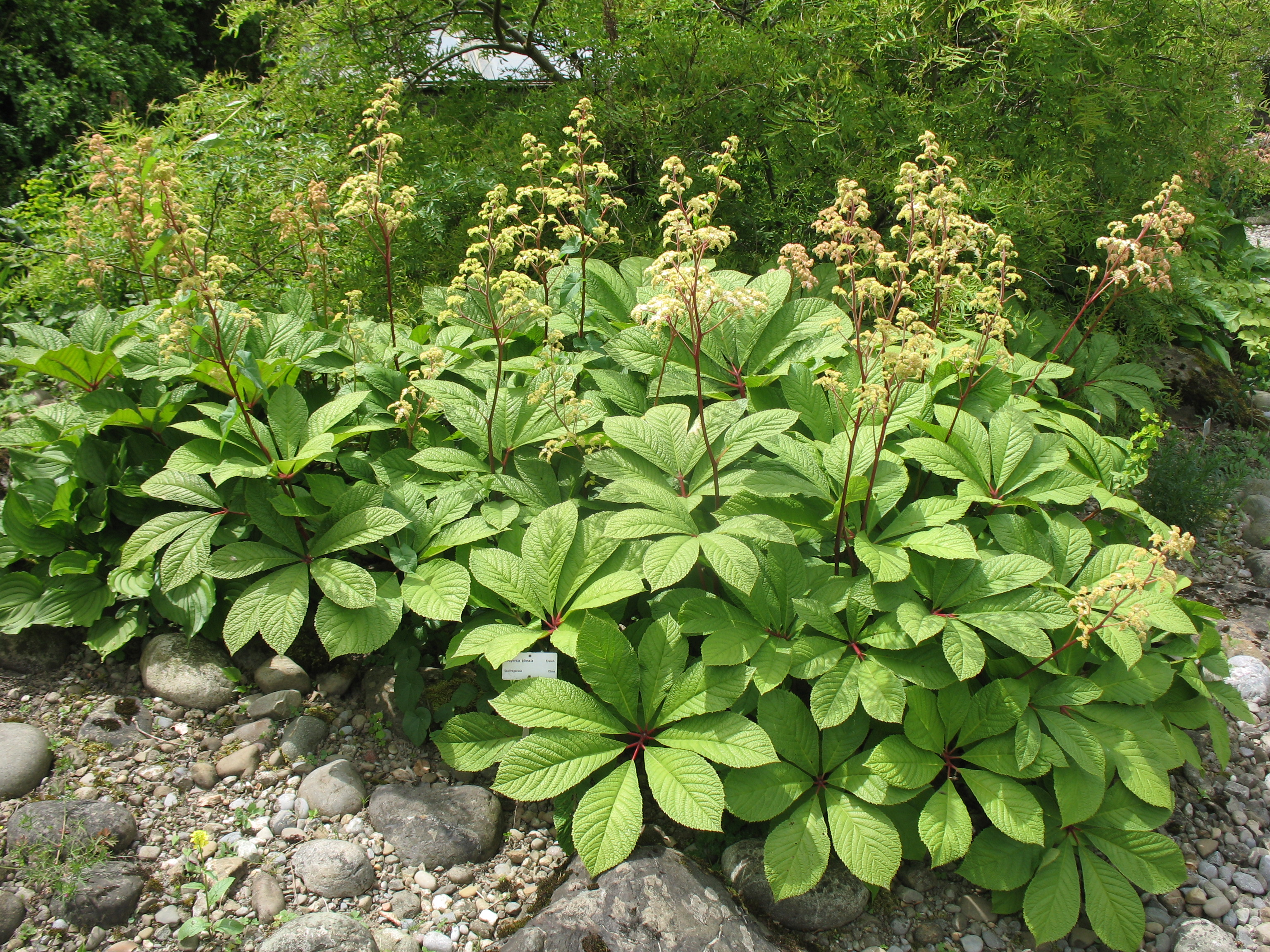 Rodgersia pinnata / Rodgersia pinnata