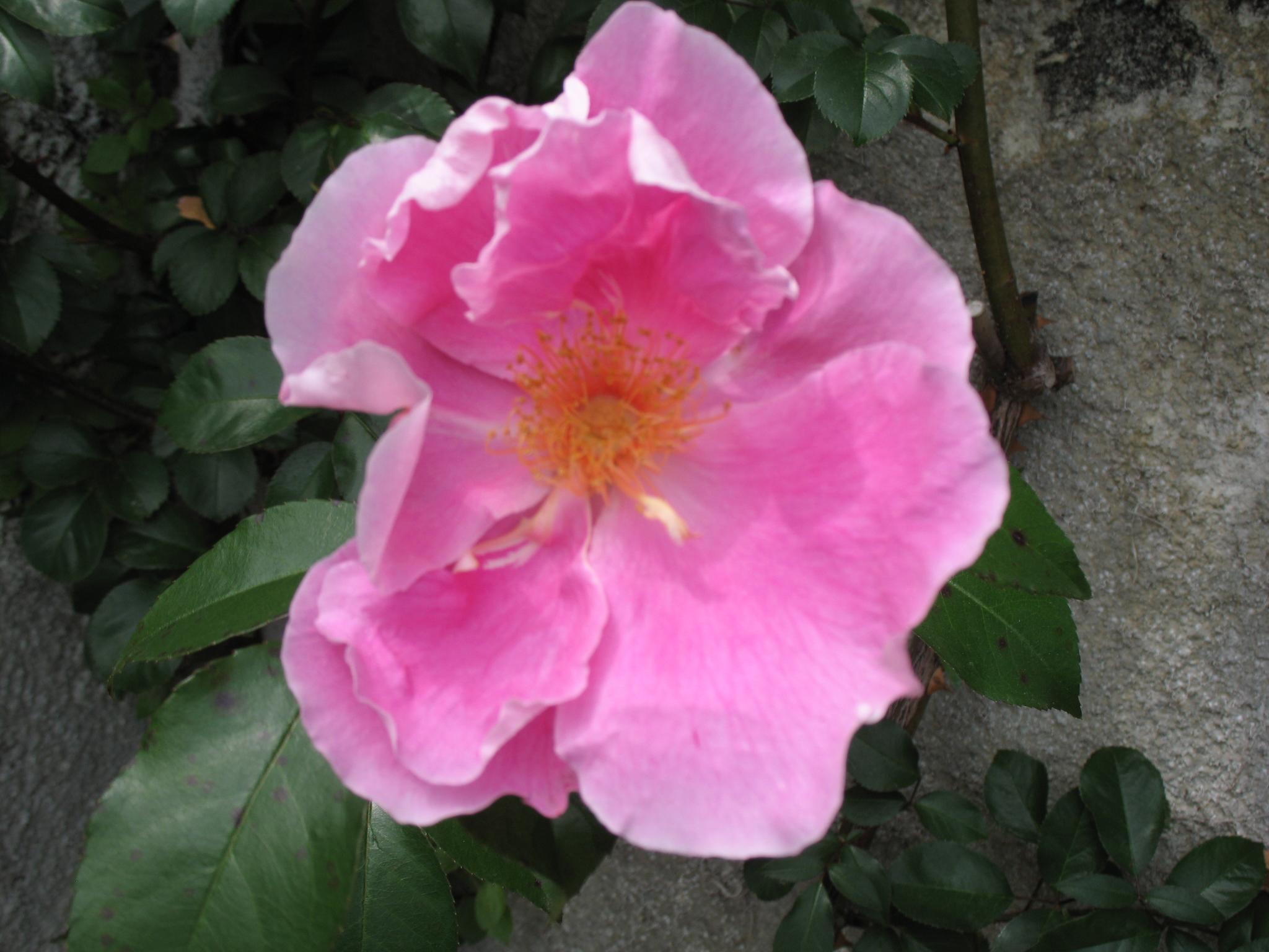 Rosa x 'Anemonenrose' / Rosa x 'Anemonenrose'