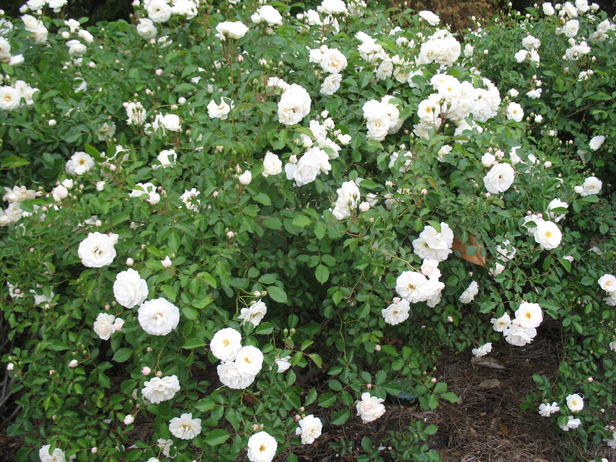 Rosa 'Prosperity' / Rosa 'Prosperity'