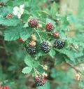 Blackberry / Rubus species
