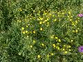 Early Buttercup / Ranunculus fascicularis
