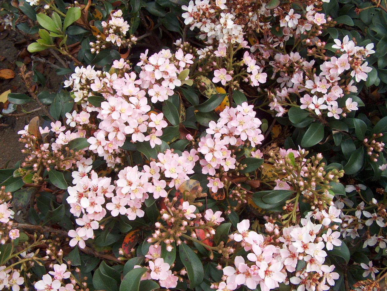 Landscaping Shrubs With Pink Flowers : Raphiolepis indica plantguide