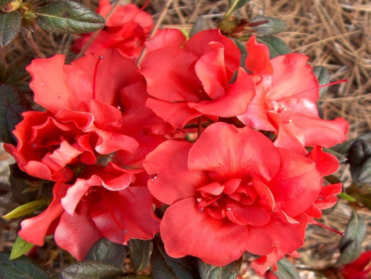 Rhododendron 'Autumn Embers' / Rhododendron 'Autumn Embers'